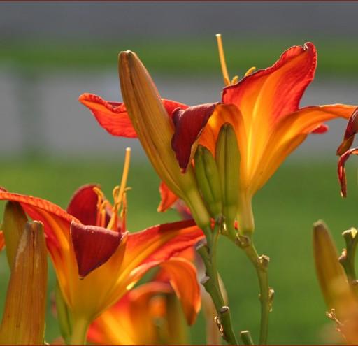 Daylilies afire