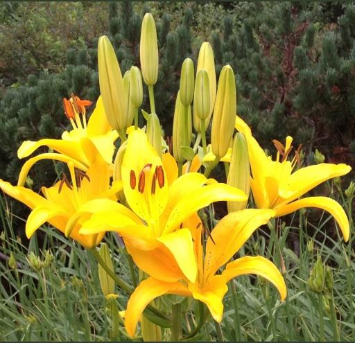 Daylily cluster