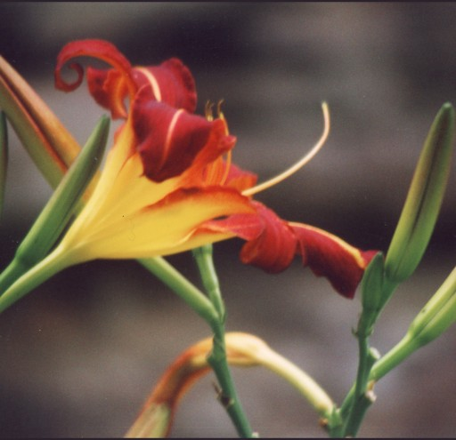 Lonely Daylily